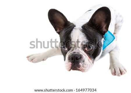 Adorable French bulldog over white background