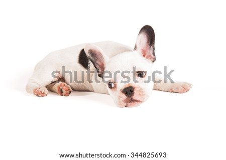 Adorable French bulldog puppy on white background