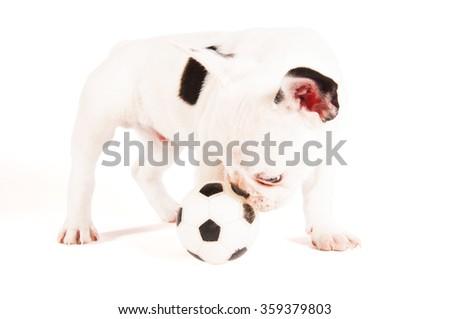 Adorable French bulldog puppy playing with a ball on white background