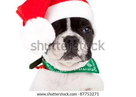 adorable french bulldog puppy wearing a santa cap posing for the camera, closeup picture