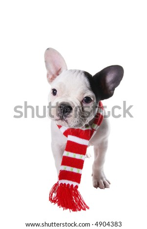 Adorable French Bulldog puppy wearing red and white scarf around neck