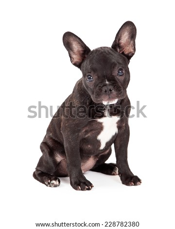 Adorable French Bulldog sitting while looking into the camera.  - stock photo