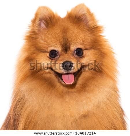 Adorable, furry spitz on a white background - stock photo