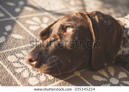 Adorable German Pointer relaxing on carpet at home - stock photo