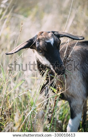 Adorable goat in the field portrait