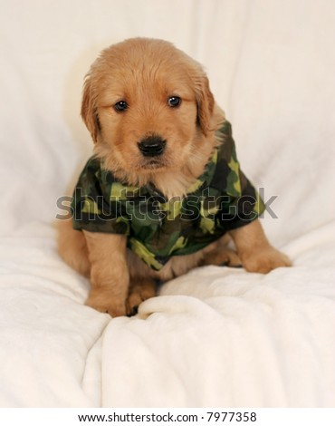 Great Outfit Army Adorable Dog - stock-photo-adorable-golden-retriever-in-army-outfit-7977358  Graphic_131729  .jpg