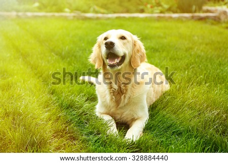 Adorable Golden Retriever on green grass, outdoors - stock photo