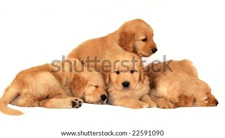 adorable golden retriever puppies snuggling - stock photo