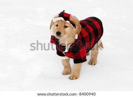 adorable golden retriever puppy in plaid hat and coat standing in snow - stock photo
