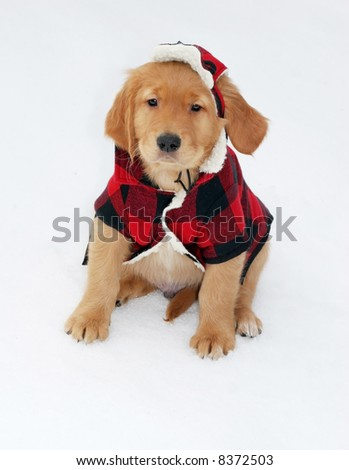 adorable golden retriever puppy in plaid hat and jacket sitting on snow