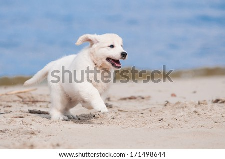 adorable golden retriever puppy on the beach - stock photo