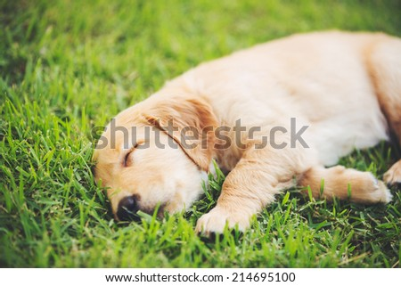 Adorable Golden Retriever Puppy Sleeping in the Yard - stock photo