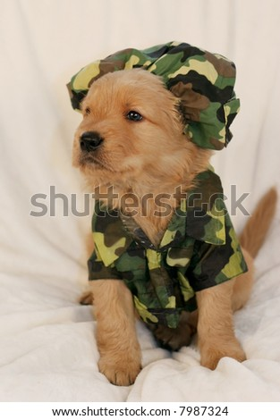 Amazing Outfit Army Adorable Dog - stock-photo-adorable-golden-retriever-puppy-with-army-outfit-7987324  You Should Have_19646  .jpg