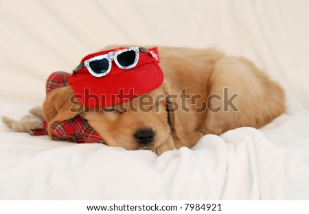 adorable golden retriever puppy with visor and sunglasses, sleeping - stock photo
