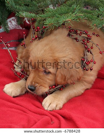 adorable golden retriever under christmas tree with red berry garland - stock photo