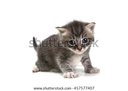 Adorable Grey Kitten on White Background Looking at Camera