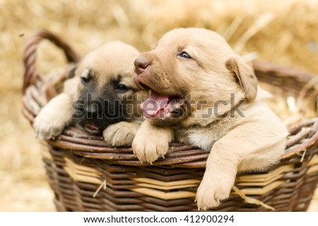 Adorable Group of sweet labrador Puppies playing around in straw an a farm yard - stock photo