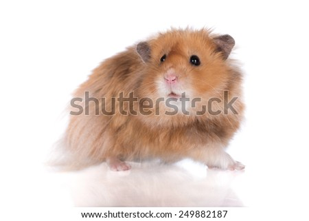 adorable hamster on white background