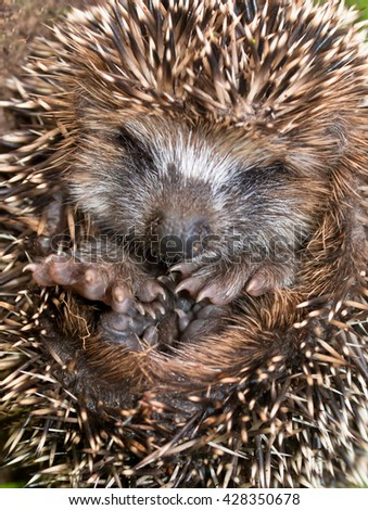 Adorable Hedgehog (Erinaceus, europaeus) in Hibernation during the long cold winter in Europe - stock photo