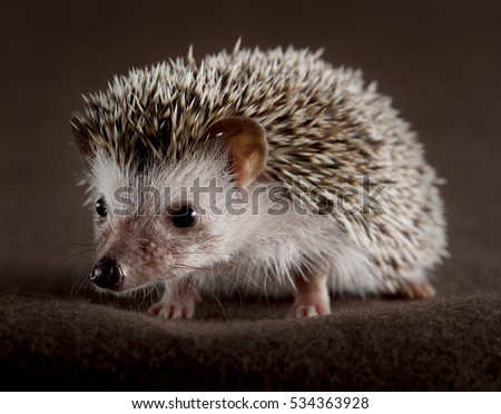 Adorable hedgehog in studio