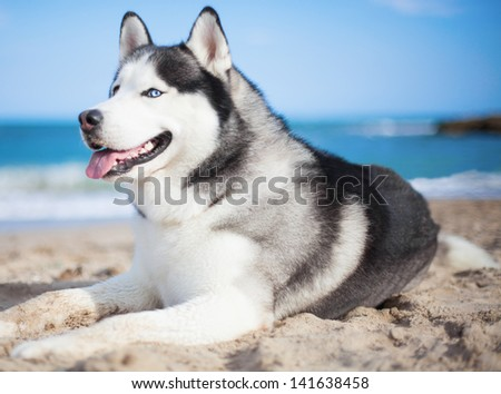 adorable husky at beach on a sunny day - stock photo