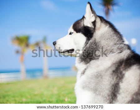 Adorable husky at park