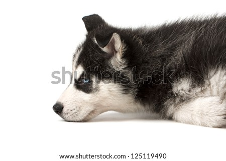 Adorable husky puppy lying on its side. Isolated on white background - stock photo