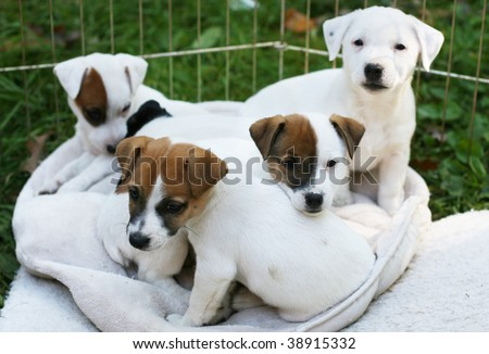 adorable jack russell terrier puppies - stock photo