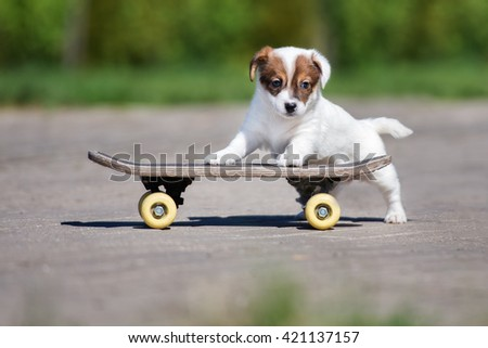 adorable jack russell terrier puppy posing on a skateboard