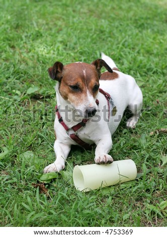 adorable jack russell terrier with paw on plastic glass