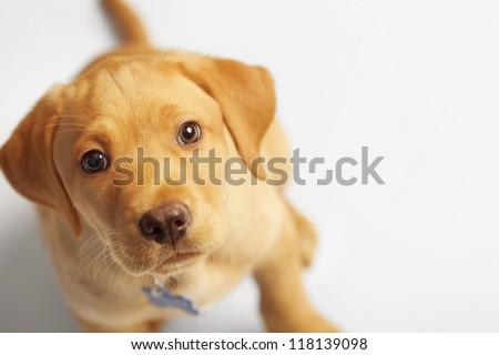 Adorable Labrador Puppy Looking at Camera on White Backdrop - stock photo
