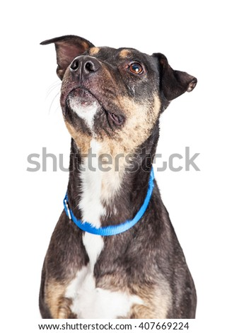 Adorable large crossbreed dog looking up. Isolated on white. - stock photo