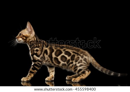 Adorable little Bengal Kitty Walking and show his spots on gold, Isolated Black Background, Side view