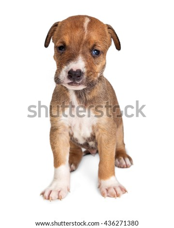 Adorable little brown and white little puppy sitting on white