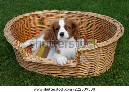 Adorable little cavalier king charles spaniel lying on the blanket in the wooden basket - stock photo