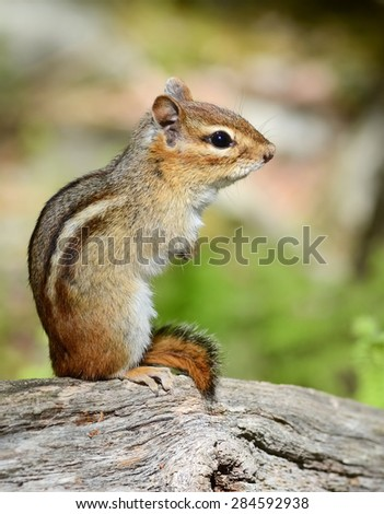 Adorable little chipmunk keeping watch on his territory - stock photo