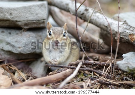 Adorable little chipmunk sits outside her burrow - stock photo