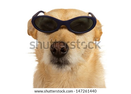 Adorable little cool dude dog wearing sunglasses sitting looking at the camera isolated on white - stock photo