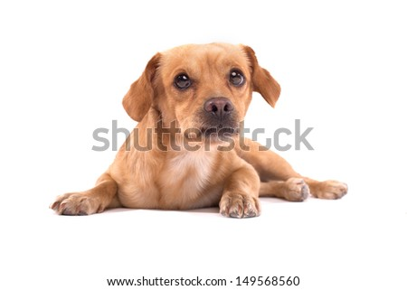 Adorable little dog, isolated on white