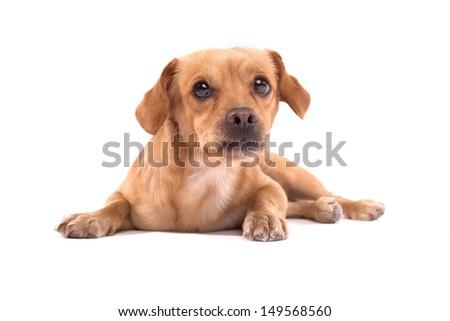Adorable little dog, isolated on white - stock photo
