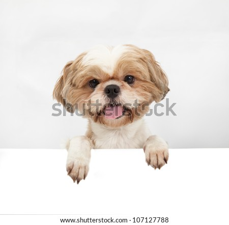 Adorable little dog with blank board - stock photo