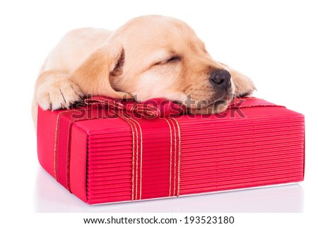 adorable little labrador retriever puppy dog is sleeping on a red present box on white background - stock photo
