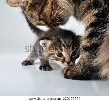 Adorable little newborn kitten with mother cat taking care of it. Studio shot.  - stock photo