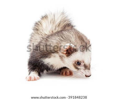 Adorable little pet ferret on white background sniffing the floor - stock photo