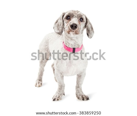 Adorable little Poodle and Dachshund mixed breed dog wearing pink collar standing over white