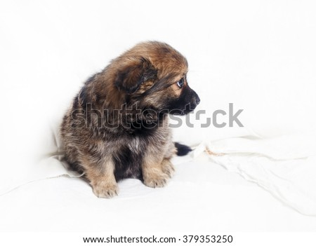 Adorable little puppy dog sitting against a white sheet background. - stock photo