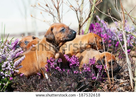 Adorable little Rhodesian Ridgeback puppies playing together in garden. Funny expressions in their faces. The little dogs are four weeks of age.  - stock photo