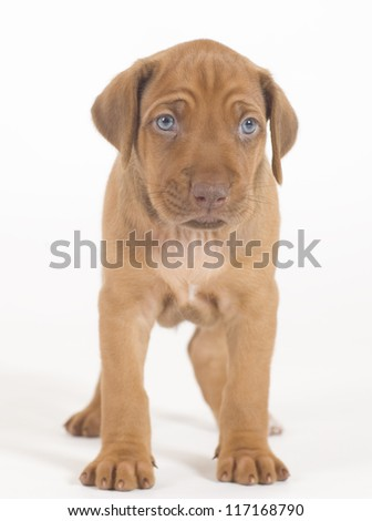 Adorable little Rhodesian Ridgeback puppy isolated on white background. The little hound dog is standing from front and looking straight into the camera. - stock photo
