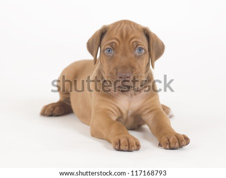 Fantastic Rhodesian Ridgeback Brown Adorable Dog - stock-photo-adorable-little-rhodesian-ridgeback-puppy-isolated-on-white-background-the-little-hound-dog-is-117168793  Best Photo Reference_283488  .jpg