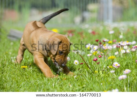 Adorable little Rhodesian Ridgeback puppy playing in the backyard with daisy flowers. Funny expression in its face. The little dogs are five weeks of age.
